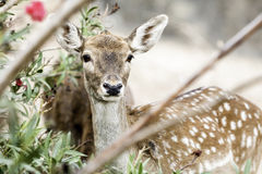 Young deer crouched Royalty Free Stock Images