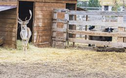 The deer left the house and walked. Behind the sheep enclosures. A young deer. The deer left the house and walked. Behind the sheep enclosures stock images