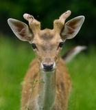 Young deer eating. Portrait of young deer eating grass Royalty Free Stock Photo