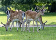 Small Group Of Young Deer Grazing On Grass In Public Park royalty free stock image