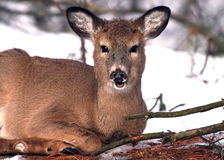 Young Deer Eating in Snow stock photography
