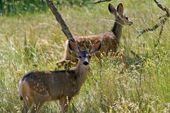 Young deer at the edge of the forest royalty free stock image