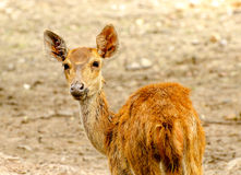Young deer in farm Stock Images