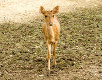 Young deer in farm Stock Image