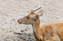 Young deer in farm Stock Photography