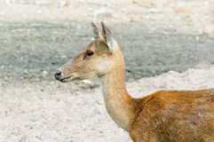 Young deer in farm Royalty Free Stock Photos