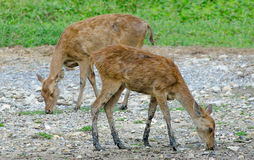 Young deer in farm Stock Photo
