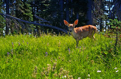 Young deer fawn in a forest meadow. Baby spotted blacktail deer stands in a grassy meadow in the forest in Olympic National Park , Washington state Royalty Free Stock Photography