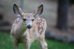 Young Deer Fawn Looking Towards the Camera stock image