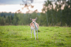 Young deer in field. Young fawn deer stood in green countryside field with trees in background Stock Photos
