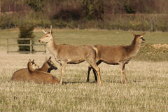 Young deer in a field. Young deer standing and sitting in a field Stock Images