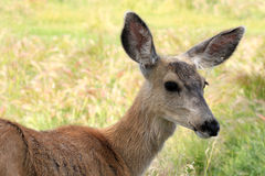 Young deer in a field Royalty Free Stock Photo