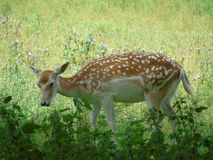Young Deer in Field. Young deer/fawn playing in grassy field royalty free stock photo