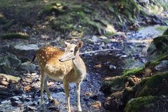 Young deer in the forest royalty free stock image