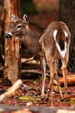 Young Deer in forest during fall Stock Images