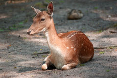 Young deer on forest floor close up Royalty Free Stock Photography