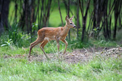 Young deer in forest Stock Image