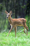 Young deer in forest Stock Images