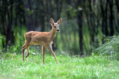 Young deer in forest Stock Photo