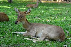 The young Deer on the Grass field stock photography