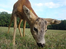YOUNG DEER. A young deer grazing in a meadow near the forest royalty free stock photos
