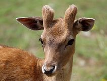Young deer grazing in the mountains stock photos