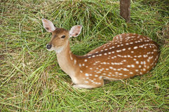 Young deer. Royalty Free Stock Image