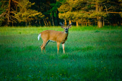Young Deer in Green Meadow Royalty Free Stock Photography