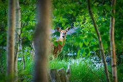 Young Deer in Green Meadow Stock Photo