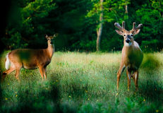 Young Deer in Green Meadow Royalty Free Stock Images