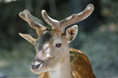 Young deer headshot Royalty Free Stock Photos