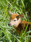 Young Deer. Hiding in tall grass Royalty Free Stock Images