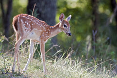 Young deer on a hill. Mule deer fawn on a hillside Royalty Free Stock Photo