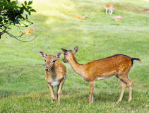 Young deer hind looking Royalty Free Stock Photo