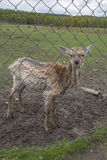 Young deer without horns behind the fence on a farm Stock Photography