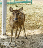 Young deer in livestock. Royalty Free Stock Images