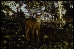 Young deer lost in the woods stock video