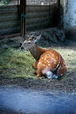 Young Deer. Lying on the grass in a zoo Stock Photography