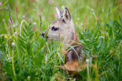 Young deer lying on a meadow. Summer fauna and flora Stock Photo