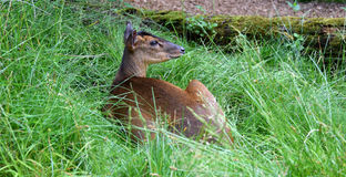 Young deer making siesta in the grass. A young deer making siesta in the grass under a tree royalty free stock images