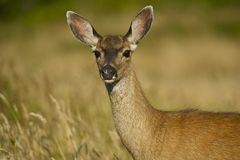 Young Deer. On the Meadow. Wildlife Photo Collection stock photography