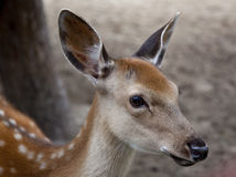 Young deer muzzle Royalty Free Stock Photography