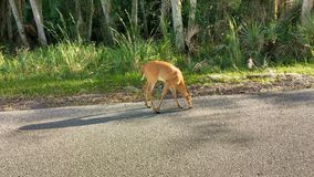 Young deer, Myakka state park. A fawn in the road at myakka state park royalty free stock photography