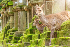 Young deer in Nara Park, Japan. The deer, the symbol of the city of Nara Royalty Free Stock Photo