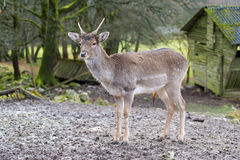 Young deer in the nature park, Germany. Young deer in the nature park and old wooden hut, Germany Stock Image