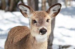 Young deer in nature Royalty Free Stock Photo