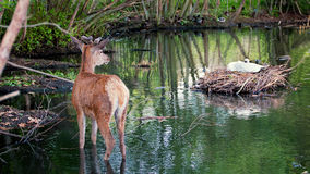 Young deer and nesting swan. Nature scene Royalty Free Stock Photo