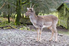 Young deer in the park, Germany. Young deer in the park with old wooden hut, Germany Royalty Free Stock Image
