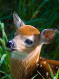 Fawn. A young deer peering up from it's hiding place Royalty Free Stock Photos