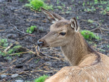 Young deer. Photo taken in Karelia in the zoo Royalty Free Stock Image